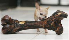 chiwawa big dog bone