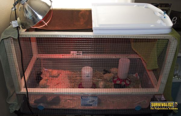 how to keep baby chicks warm without a heat lamp